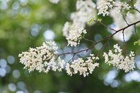 Tháng Ba về, hoa sưa trắng ủ đầy yêu thương