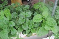 Sáu bước giúp bạn trồng rau sạch hiệu quả tại nhà