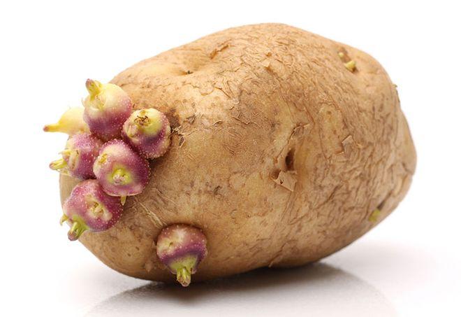 không chọn củ khoai tây đã mọc mầm