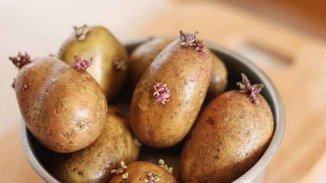 ươm mầm khoai tây