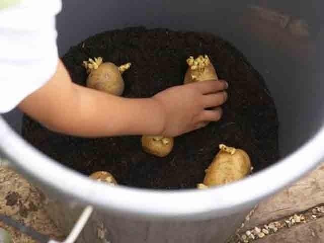 trồng khoai tây vào chậu