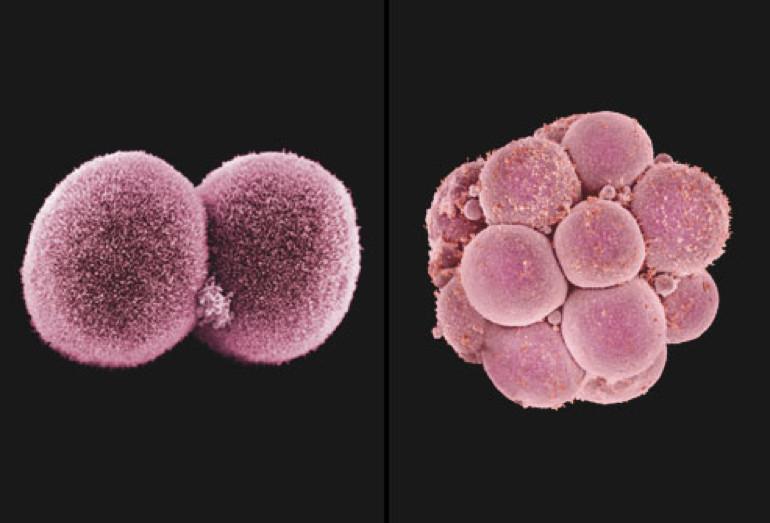 Tế bào mầm nhỏ bắt đầu phát triển nhanh chóng, bao bọc lấy tế bào mầm to, tạo thành phôi dâu