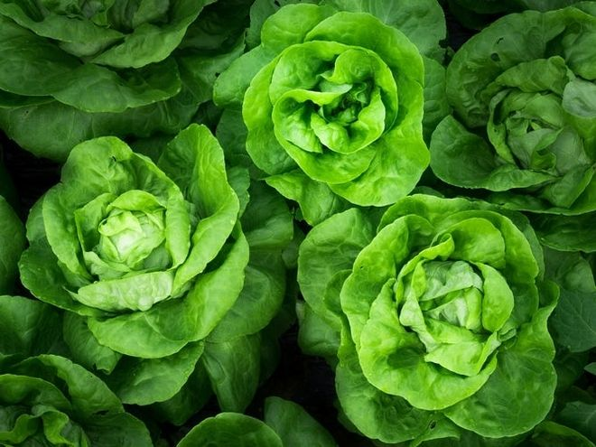 rau bắp cải xanh