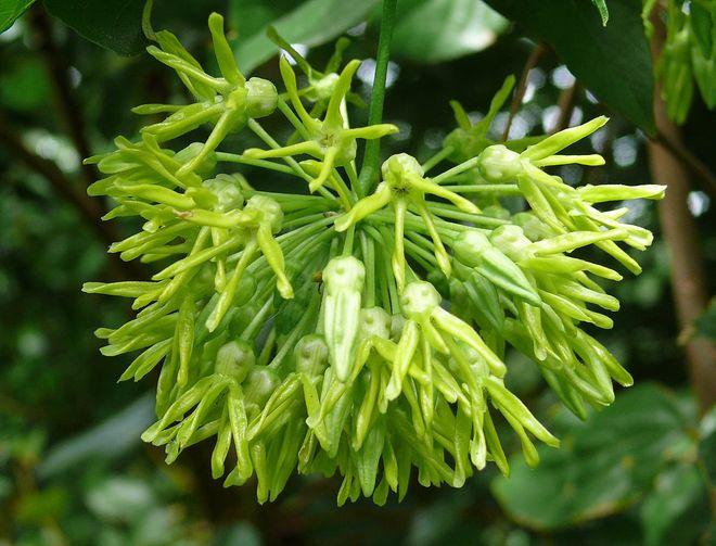 hoa thiên lý