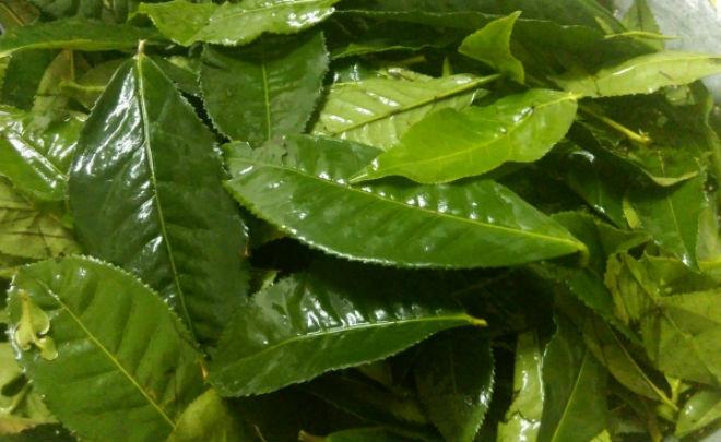 rửa sạch lá trà xanh
