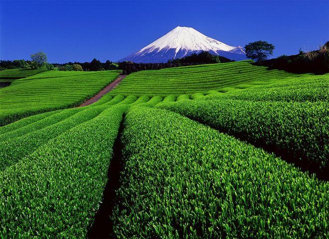 bột matcha được làm từ những lá trà được chăm sóc kĩ lưỡng