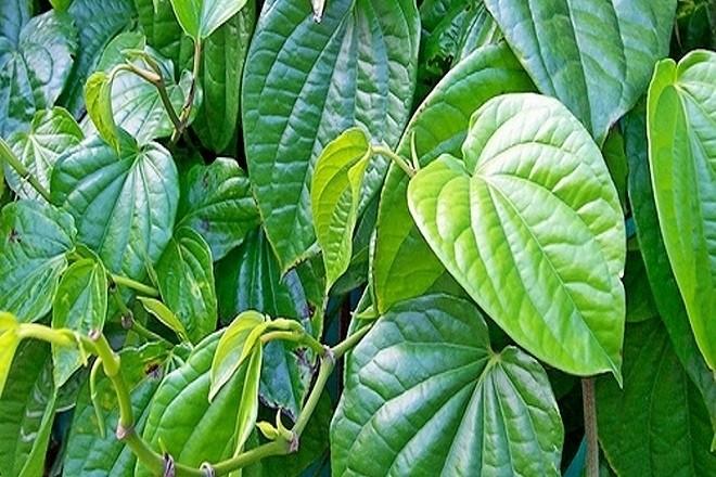 lá trầu được trồng nhiều ở việt nam