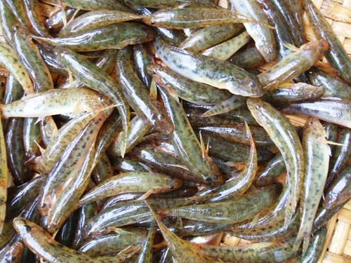cá bống là một loại thực phẩm có nhiều chất dinh dưỡng