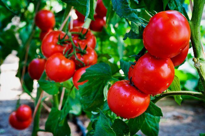 những quả cà chua