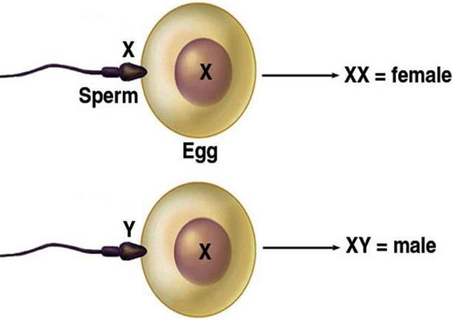 Tinh trùng X và Y