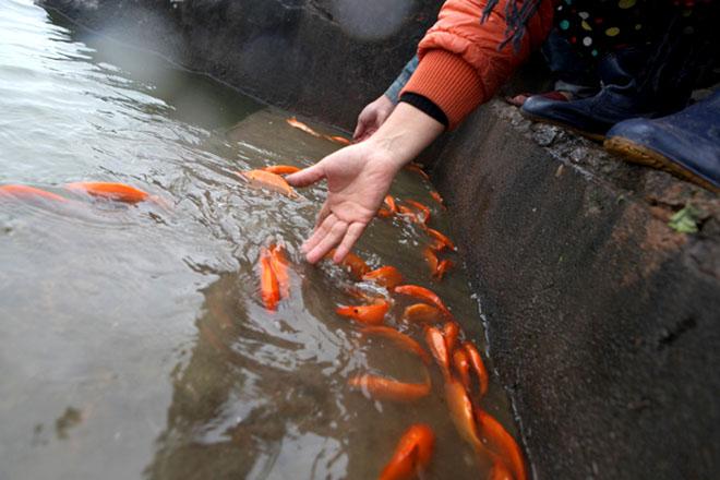 Không bắt buộc phải có cá chép sống và phóng sinh trong lễ cúng ông Táo
