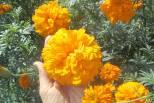 cách trồng bông vạn thọ Tết