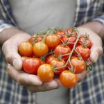 Nghiên cứu mới: Ăn cà chua giúp tăng cường khả năng sinh sản ở nam giới