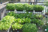 Giới thiệu 4 mô hình trồng rau sạch tại nhà đơn giản, hiệu quả cao