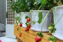 Hướng dẫn cách trồng dâu tây tại nhà sai quả và siêu ngon