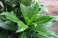 Trị ho hiệu quả cho bé với các loại lá tự nhiên