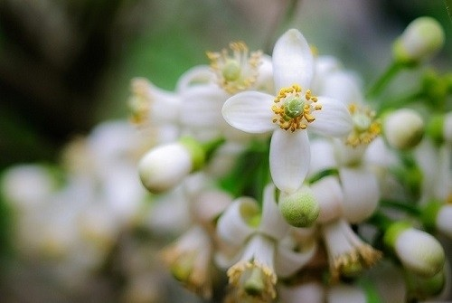 tinh dau hoa buoi