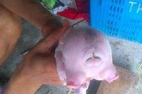 Xôn xao 'quái vật' lợn hai đầu ở Nghệ An