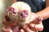 Con lợn dị dạng sinh ra với 2 mõm, 3 mắt