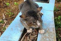 Cảm động chú mèo cả năm nằm trông mộ chủ suốt ngày đêm