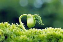 Thực hư công dụng của mầm đậu nành đối với khả năng thụ thai