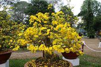 Chia sẻ kinh nghiệm lặt lá mai đúng cách để cây nở hoa đúng Tết