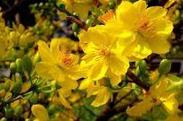 Cách chọn hoa đào, mai, quất tuyệt đẹp chưng Tết đón may mắn vào nhà